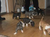ABKC registered bullies pups 5 Males 8 weeks old vet