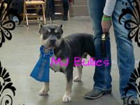 ABKC UKC Blue Tri stud BGs Shot of Nitrous up for stud