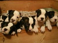 American Bully Puppies ABKC & UKC 15 weeks old 4