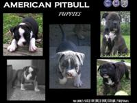 Making top of the line show quality American Bullies.