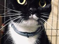 Abla's story Meet Abla. She is a 1 year old DSH tuxedo