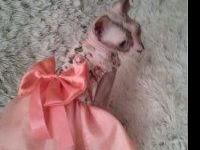 Abla moving star Sphynx kittens for sale.these are like