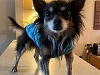 Abner's story Abner is a long haired Chihuahua. He does