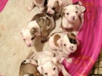 ABRA American bull dogs. Mom an dad on site. 3 females