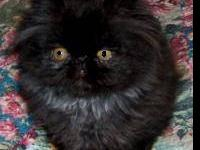 This Persian kitten is sweet and loving, born 6/29/12,