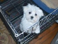 We have now available 2 absolute super Maltese puppies