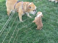 These wonderful, playful, wrinkly dogs are the cutest