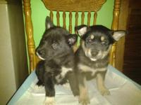 These cutie pie young puppies are 6 week old Siberian