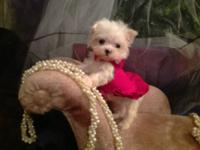 ABSOLUTELY ADORABLE TINY MALTESE BABY GIRL A TRUE