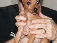 I have 3 boys and 1 girl Minpin puppies available. They