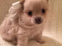 Super cute and fluffy white male Pomchi puppy. Born