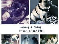 Hi!! :) I raise Pugs, Buggs, Bostons and Frenchie