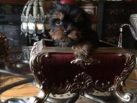 Gorgeous female yorkie puppies champion sired will