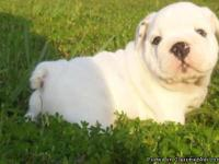 Absolutely Beautiful English Bulldog Puppies  Now
