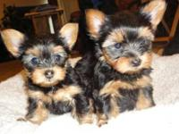 AKC Registered Yorkie puppies for adoption! 2 males