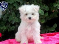 Absolutely GORGEOUS Maltese puppies available!