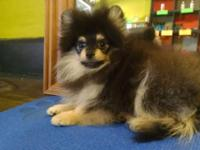 Absolutely Gorgeous Pomeranian puppies in several