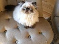 Absolutely GORGEOUS Seal Point Male Baby Himalayan