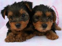 Absolutely gorgeous and sweet tiny Yorkie Brothers!