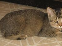 Abyssinian - Benny - Small - Adult - Male - Cat BENNY