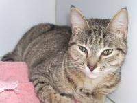 Abyssinian - Gidget - Small - Young - Female - Cat