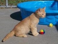 Abyssinian - Spartapuss - Small - Young - Male - Cat