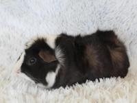 Abyssinian Guinea Pigs *We currently have no available
