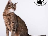 Abyssinian - Speedway - Small - Adult - Female - Cat