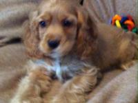 Sammy is a handsome American Cocker Spaniel 9WKS old