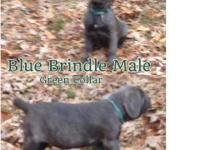 Cane Corso Puppies for sale in South Jersey. All pups