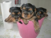 Yorkshire Terrier Puppies...Parents on my family pets,
