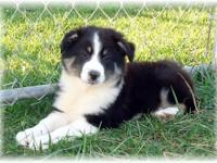 Quality ACA Registered Australian Shepherd Puppy. Big,