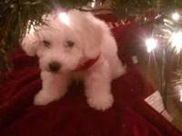Are you looking for a cute cuddly adorable ACA Bichon