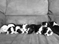 Sweet Valentines Day Puppies! ACA registered Boston