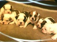 Registered Fawn boxer puppies 4 male 1 female ready to