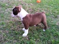 Rex is a brown Boston Terrier. He was born the biggest