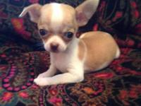 I have a sweet little chihuahua female, only a pound