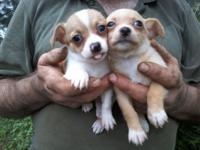 3 boys and 1 girl aca registered chihuahua up to date