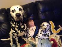 Our dogs had their second litter of Dalmatian puppies