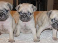 I have 3 ACA Fawn Pug Puppies for sale. There are 2