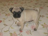 I have ACA Fawn Pug Puppies available. There are some