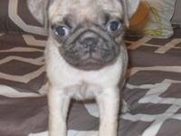 3 ACA Female Pug Puppies. Color: Fawn DOB: 8-8-15