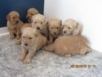 We have 6 adorable American Canine Association