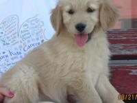 ACA Registered Golden Retriever she is really friendly,