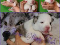 I have a 10 week old female siberian husky ready for