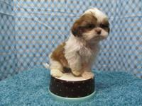 ACA Imperial Shih Tzu puppies. 2 males and 1 female.