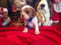 ACA King Charles Cavalier This ad was posted with the