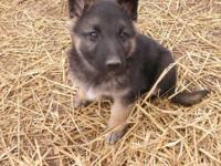 We have ACA registered huge male german shepherd pups.