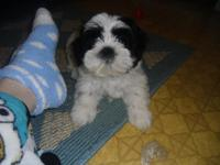 ACA LHASA APSO PUPPIES  vet checked shots 1-2 d