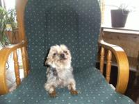 ACA MALE YORKIE 4 YRS. OLD PROVEN BREEDER HE CAN ALSO